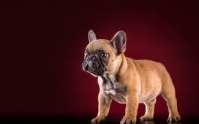 法国斗牛犬, 狗, 小狗