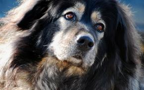 Tibetan Mastiff, Hund, Schnauze, Porträt
