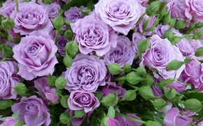 purple roses, Roses, BUDS