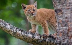 猞猁, rysenok, 小猫, 婴儿, 树, 支, 上树