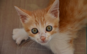 ginger kitten, kitten, Red, muzzle, enormous eyes, view