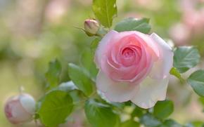 玫瑰, 芽, 花瓣