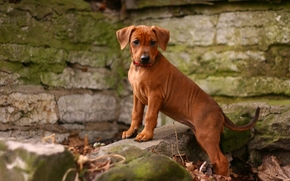 German Pinscher, dog, puppy