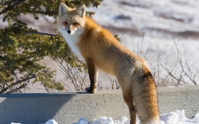 fox, Redhead, view, winter