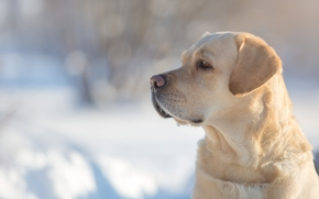 Labrador Retriever, Hund, Hund, Schnauze, Profil, Porträt