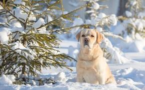 Лабрадор-ретривер, собака, пёс, зима, снег, ёлка
