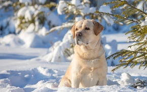 Лабрадор-ретривер, собака, зима, снег