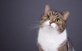 猫, krasava, 肖像