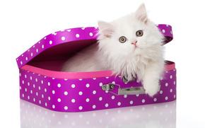 cat, kitten, white, fluffy, suitcase