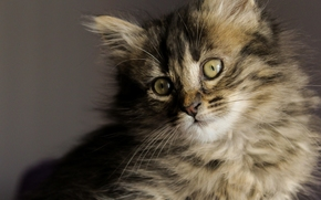 kitten, fluffy, muzzle, view