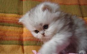 kitten, baby, fluffy