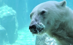 polar bear, polar bear, bear, Snout, water, bubbles, underwater
