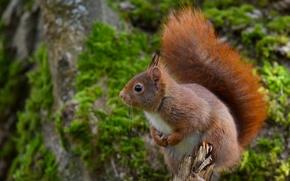 scoiattolo, Redhead, intoppo