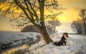 オーストラリアンシェパード, オージー, 犬, 自然, 冬, 雪, 川, ツリー