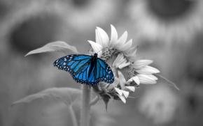 farfalla, Macro, nero-bianco, blu, semi di girasole, Insetti