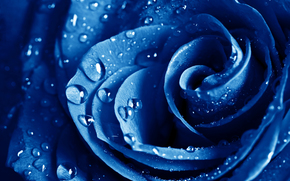 роза, розы, цветы, цветок, голубая, капли, макро, лепестки, флора