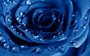 róża, Roses, Kwiaty, kwiat, Niebieski, drops, Macro, Płatki, flora