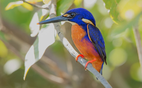 martín pescador azul, pájaro, rama