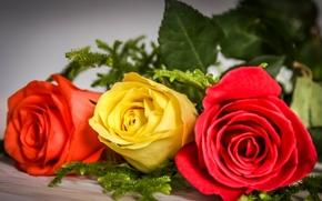 玫瑰, 芽, 三人
