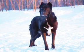 dog, Dog, winter, snow