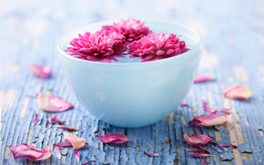 Flowers, Chrysanthemum, cup, Petals