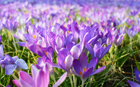 Flowers, Crocuses, SPRING