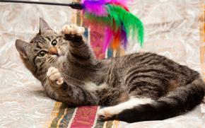 gatto, COTE, gatto, sfondo, giocattolo