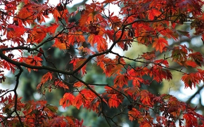 autumn, branches of trees, foliage, nature