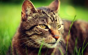 кошка, кот, взгляд