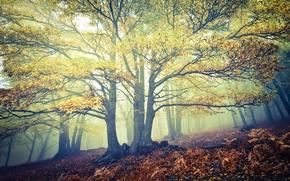 foresta, alberi, nebbia, autunno, natura