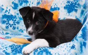 Dog, dog, puppy, Puppies, background, cloth, bow