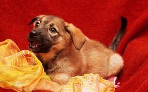 собаки, собака, щенок, щенки, фон, ткань