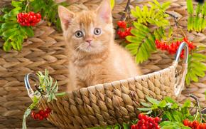 gatto, COTE, gattino, Cestini, visualizzare