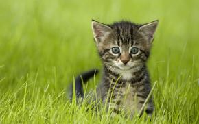 gatto, COTE, gattino, visualizzare