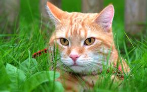 COTE, gato, ver