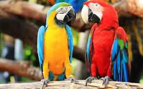 Niebieski i żółty ary, papuga, ptak