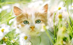 gattino, museruola, visualizzare, Fiori, Camomilla