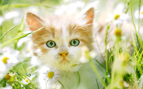 котёнок, мордочка, взгляд, цветы, ромашки