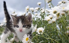 котёнок, малыш, ромашки, цветы