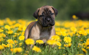 dog, puppy, Blowball, Flowers, meadow