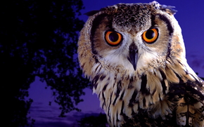 owl, owl, bird, enormous eyes, view