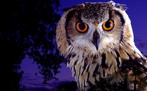civetta, civetta, uccello, occhi enormi, visualizzare
