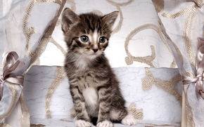 kitten, Gray, striped