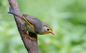 Rosso-fatturato, Leiothrix, uccello, ramo