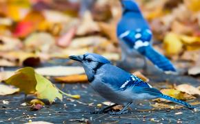 arrendajo azul, pájaros, cristata cyanocitta