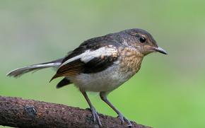 Magpie Robin, uccello, ramo