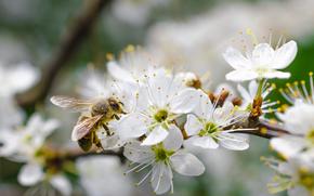 Zweig, Blumen, bee, Macro