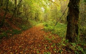 foresta, alberi, stradale, autunno, natura