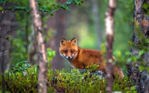 fox, Redhead, forest, trees