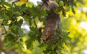 scoiattolo, albero, FILIALE, Quercia